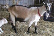 Дойная коза с козлятами