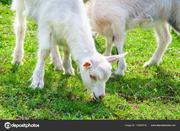 Продам козу и козлят